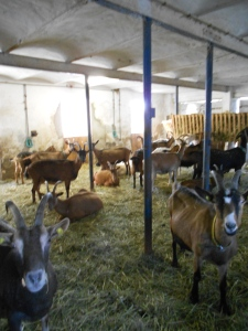 One barn full of our goats!