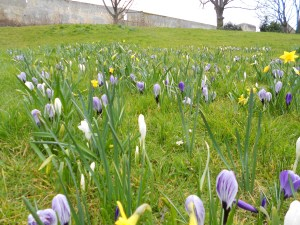 More crocuses outside the castle wall!
