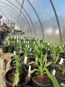 Beardsley's greenhouse, where the plants are getting ready for the great outdoors!