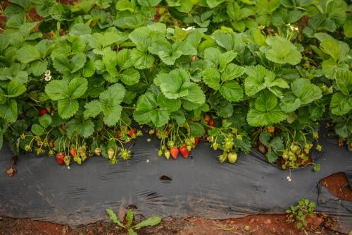 Blog Strawberries!!! (Photos by Kelley Van Dilla) (18 of 24)